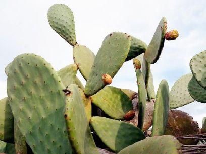 Chumbera_con_los_frutos_madurando_[Higo_chumbo]