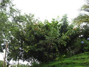 arbol de huaya